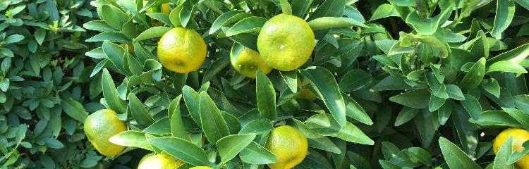 橘の如く香り高く